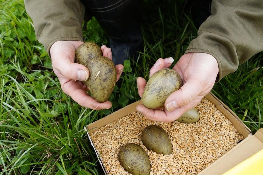 Ochrona Kulika Wielkiego, Eurasian Curlew Protection Program