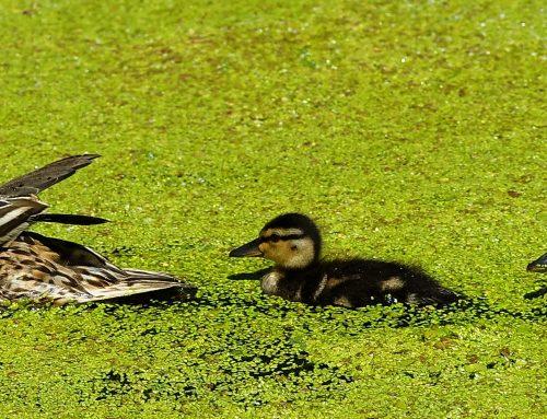 Jak bezpiecznie przeprowadzić kaczą rodzinę