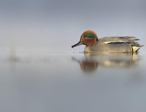 Raport IUCN – konieczne objęcie ochroną łyski, cyraneczki, czernicy i głowienki