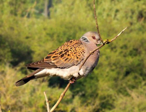 Francja – kolejny sezon walki o turkawki stracony?