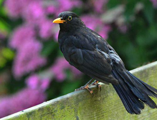 Próby legalizacji niewolenia ptaków we Włoszech